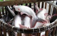 Cá tra trên 10kg/con giá cao ngất!