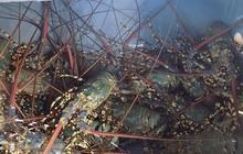 Đảo Bình Ba trúng đậm tôm hùm nuôi, giá bán cao, người nuôi 'cười tươi'
