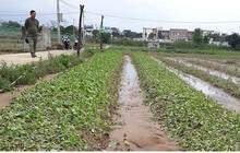 Nông dân Đà Nẵng trắng tay vụ rau Tết