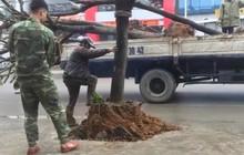Kỳ lạ hàng cây trồng dưới lòng đường, 'bẫy' xe ở Quảng Ninh