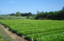 Giống cây trồng Trung Ương (NSC) lãi 139 tỷ đồng trong 9 tháng, giảm 15% so với cùng kỳ