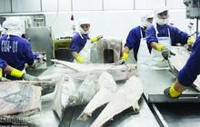 Xuất khẩu cá ngừ sang EU vẫn gặp khó