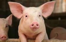 Tăng cường kiểm soát vận chuyển lợn, sản phẩm từ lợn qua biên giới