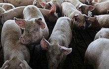 Nguy cơ lây lan dịch tả lợn châu Phi đến các trang trại chăn nuôi lớn