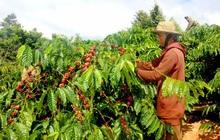 Cà phê chín rộ, nông dân Tây Nguyên hối hả thu hoạch