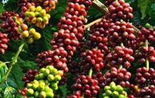 Việt Nam cung cấp tới hơn 90% cà phê cho thị trường Thái Lan
