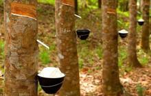 Dự báo xuất khẩu cao su sang thị trường Ấn Độ gặp nhiều khó khăn