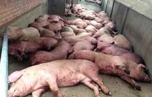 Dịch tả lợn Châu Phi: Tỉ lệ thiệt hại gần 100%