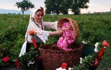 """Ngành """"công nghiệp hoa hồng"""" Bulgaria thu hút nhà đầu tư trên toàn thế giới"""