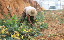 Hoa cúc nhiễm bệnh, nhà vườn Đà Lạt lao đao