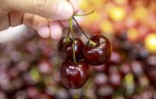 South China Morning Post: Thương chiến Mỹ - Trung, quả cherry nhập khẩu và nông sản Việt Nam