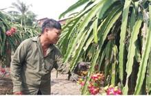 Hàng nghìn ha thanh long tại Tiền Giang chín đỏ chờ Tết