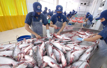 Giá cá tra cao 'chót vót' ngay đầu năm