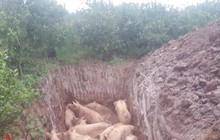Người dân mang hàng trăm con lợn nhiễm dịch tả châu Phi đi tiêu hủy