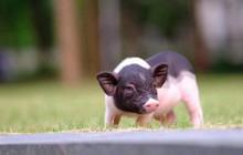 """Khách ùn ùn hủy đơn, chấp nhận mất tiền triệu khi lợn mini nhập lậu Trung Quốc bị """"tuýt còi"""""""