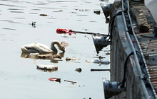 Hải Phòng kêu gọi không ném rác xuống đàn thiên nga trên sông Tam Bạc