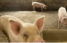 Bùng phát dịch tả lợn châu Phi quy mô lớn ở Bulgaria