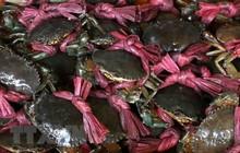 Nông dân Trà Vinh phấn khởi vì giá cua biển liên tục tăng cao