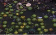 Nông dân điêu đứng vì cam xoàn đến khi thu hoạch lại bị rụng trái