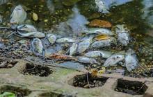 Cá chết hàng loạt tại hồ Trúc Bạch