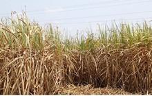 Vùng chuyên canh mía chết khô vì hạn hán khốc liệt ở Phú Yên