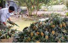 Nông dân vùng Đồng Tháp Mười phấn khởi vì giá dứa tăng vọt