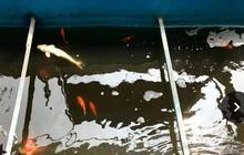 Cá Koi chết tại sông Tô Lịch nghi bị phá hoại