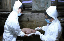 An Giang hỗ trợ gần 3.000 con lợn giống cho người dân tái đàn