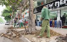 Ảnh: Dân tiếc nuối nhìn hàng cây cổ thụ hàng chục năm tuổi bị di dời