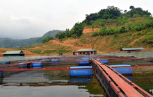 Nuôi cá lồng trên lòng hồ thủy điện Sơn La cho thu nhập tiền tỷ
