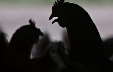 Trung Quốc bất ngờ cho phép nhập khẩu thịt gia cầm Mỹ