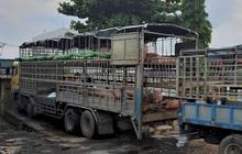 Giữa cơn sốt, lo heo lậu từ Thái Lan tuồn vào Việt Nam