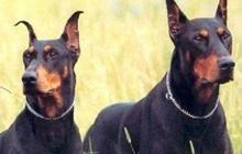 Hàng xóm thường xuyên quên không nhốt chó, người chăn dê làm 1 việc khiến đối phương lập tức thay đổi thói quen