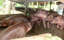 Giá lợn tăng mạnh, hộ nuôi chưa dám tái đàn