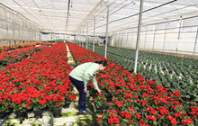 Vì sao Đà Lạt chỉ xuất khẩu được 10% sản lượng hoa?