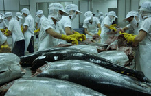 Xuất khẩu cá ngừ sang Israel giảm mạnh