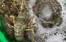Phú Yên: Tôm hùm đại dương giá chỉ 200.000 đồng/kg