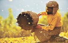 Bài học cuộc sống từ người nuôi ong hoang dã cuối cùng của châu Âu: Để giao tiếp, điều khiển đàn ong, bạn không cần có sức mạnh nhưng rất cần sự khôn ngoan