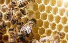 Cách sử dụng keo ong xanh hiệu quả giúp tăng cường sinh lý nam giới