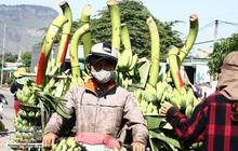 Nông dân vùng cao thu về cả trăm triệu nhờ vụ chuối Tết