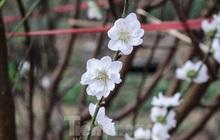 Đào cánh trắng hiếm có bạc triệu xuất hiện ở Nhật Tân
