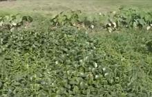 """Hải Phòng: Loay hoay tìm cách """"xóa"""" đất nông nghiệp bỏ hoang"""