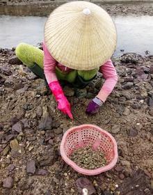 Nghề bắt thức ăn cho tôm hùm kiếm được tiền trăm/ngày