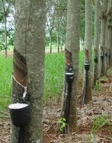 Cao su Việt Nam: Thừa vẫn thừa mà thiếu thì vẫn cứ thiếu
