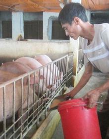 Giá lợn hơi đột ngột đảo chiều, người chăn nuôi tránh đi vào 'vết xe đổ'