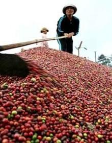 Xuất khẩu cà phê về đích sớm