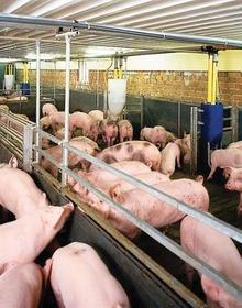"""2 năm """"cày cuốc"""" nhưng chỉ cần lỗ 1 quý, Chăn nuôi Mitraco (MLS) bị thổi bay 2/3 vốn chủ sở hữu vì giá lợn giảm sâu"""