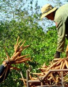 Bộ Tài chính từ chối nhiều đề xuất xin ưu đãi cho cây sắn