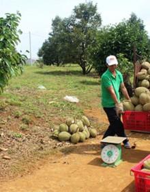 Sầu riêng ở Đăk Nông giá kỷ lục, nông dân thu lãi cao