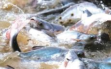 Năm 2018, xuất khẩu cá tra phá kỷ lục 20 năm, riêng Vĩnh Hoàn đã thâm nhập thị trường Trung Quốc thành công